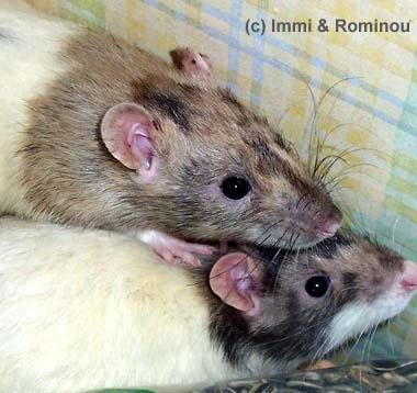 Rats tricolores ? Dtricolore