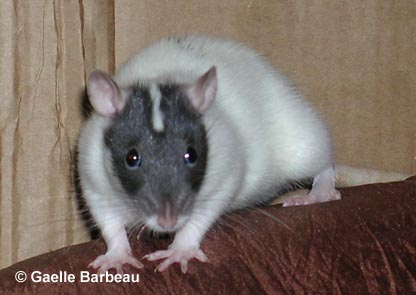 Les différents marquages du rat Poufignasse